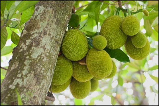 A-tree-branch-full-of-jack-fruits